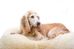 old dog on thick bedding